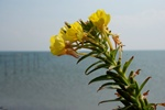 Oenothera ammophila